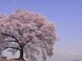 八ヶ岳と王仁桜2