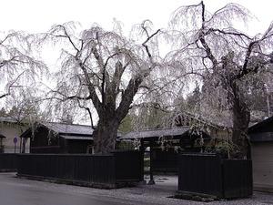 角館 しだれ桜のピークが過ぎてしまった朝の武家屋敷1