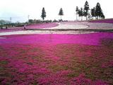 羊山公園の芝桜11