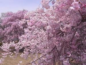 つがの里枝垂れ桜たち