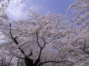 北上展勝地 目一杯花を咲かせた桜並木6