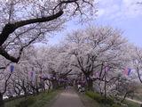 権現堂桜堤の堤の上1