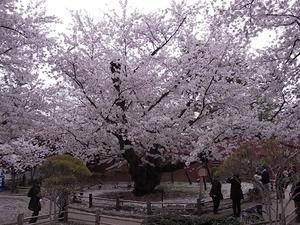 弘前城日本一太いソメイヨシノの全体