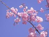 ピンクの色味が強い桜3