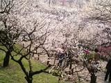 梅が満開水戸偕楽園07