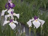 白と紫色の花菖蒲1