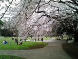 砧公園の桜04