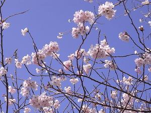 太平山 謙信平の桜アップ2