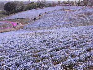 太田市北部運動公園 おおた芝桜まつり ネモフィラの花畑3