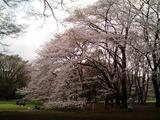 砧公園の桜15