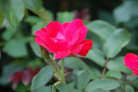 20090722赤いバラ