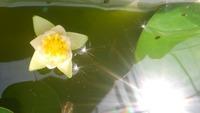 メダカ池の中のヒツジグサ