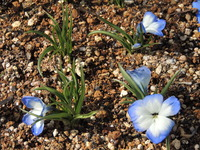 Tecophilaea cyanocrocus Leichtlini