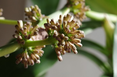 幸福の木の花2(つぼみ)