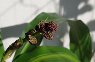 幸福の木の花1(つぼみ)