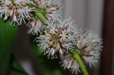 幸福の木の花3(開花)