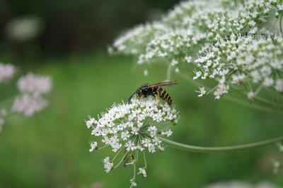ミヤマセンキュウと蜂