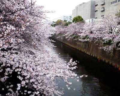 目黒川の桜(1280x1024)