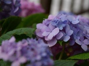 紫陽花(1024x768)