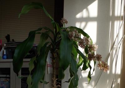 幸福の木の花3