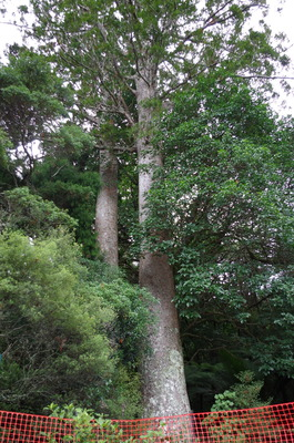 カウリの木