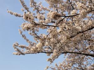 桜(1024x768)