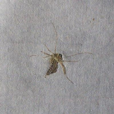 半紙モンスター(蚊)