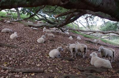 木陰で休む羊さん