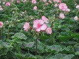 マーベリックスターが咲きました