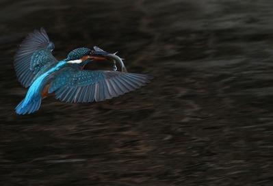 kingfisher flying