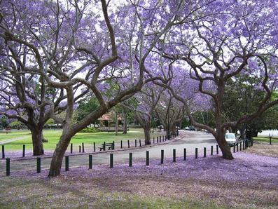 jacaranda-tree1