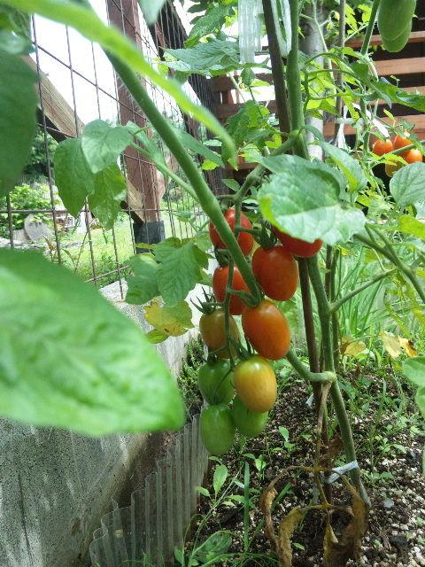 色づき始めたトマト