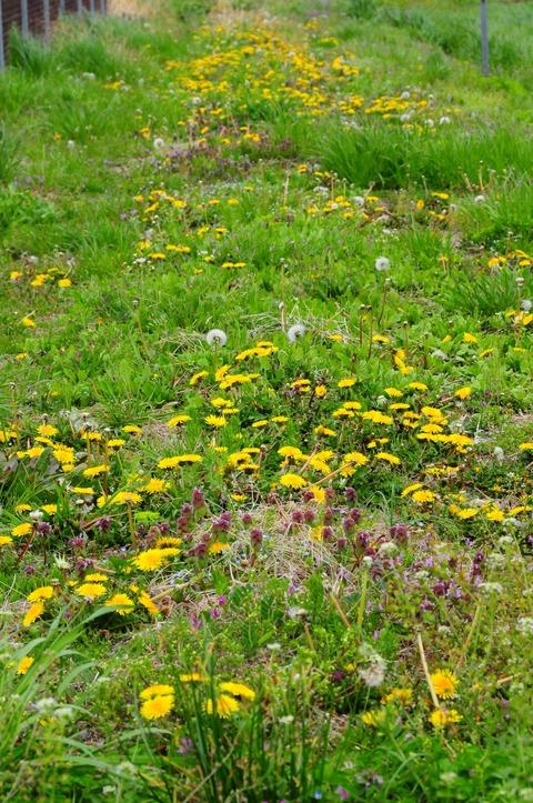 タンポポの花5
