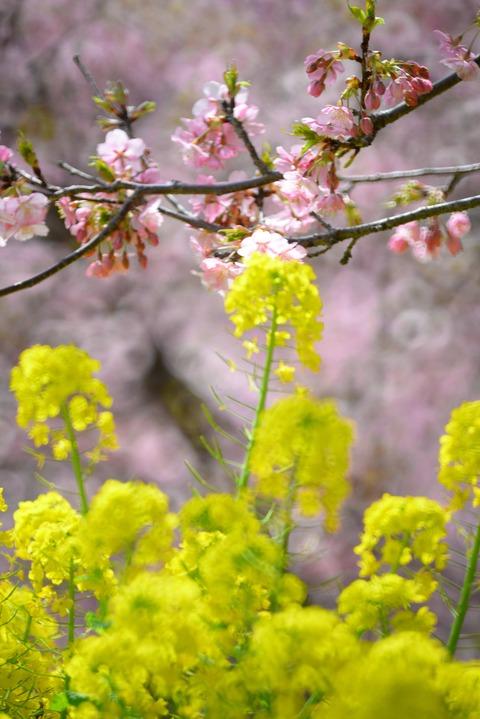 松田桜11
