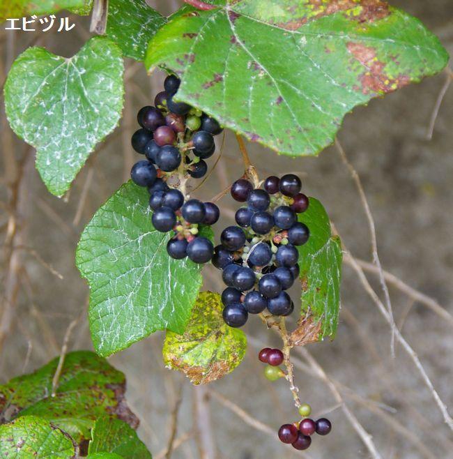 土のうた:ノブドウ・エビヅル・ヤマブドウ