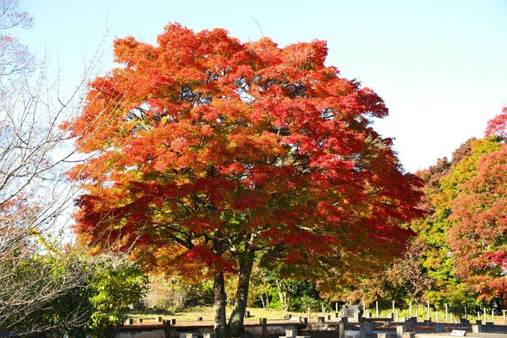 17・岡城跡・覚左ヱ門屋敷跡のシンボルツリー