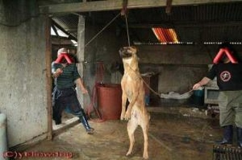 South Korean eat dogs. Handling of the dog by the Republic of Korea
