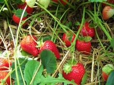 Erdbeer 017_R