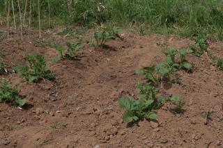 芽欠きと土寄せ