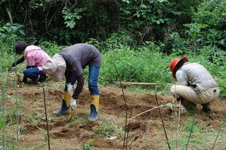 サツマイモを植える