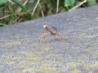 ハラビロカマキリ1幼虫