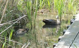 ヘイケの湿地にカルガモ2羽