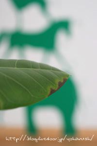 アルティシーマの葉