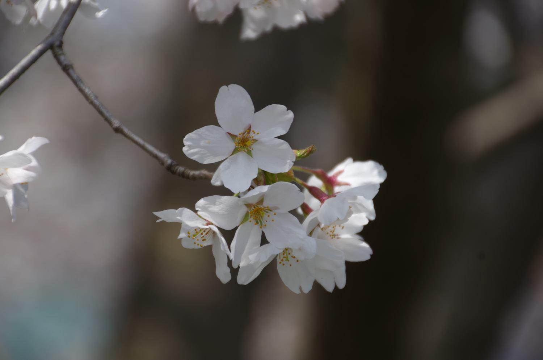草津温泉 草津スカイランドホテル|公式メニュー長野原町で桜が満開です。投稿ナビゲーションメニュー