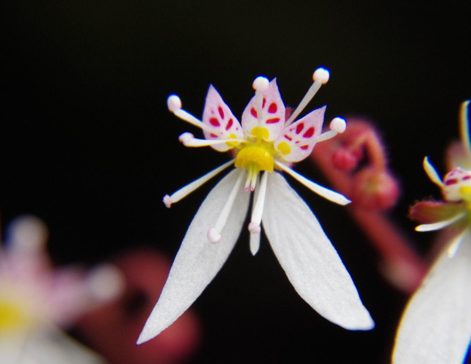 ユキノシタの画像 p1_4