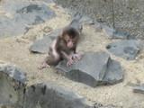 ニホンザルの赤ちゃん