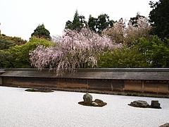 龍安寺のしだれ桜