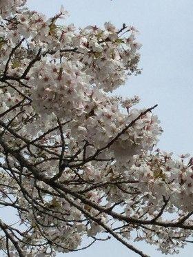 気仙沼でお花見