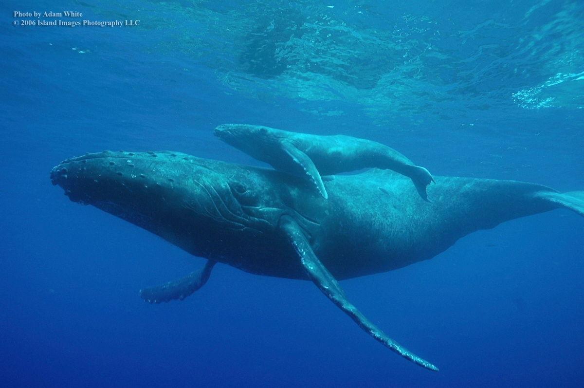大き シロ さ ナガスクジラ