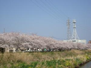 明光橋の桜
